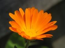 Calendula_officinalis