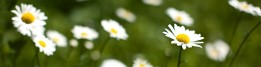 cropped-daisies-10331.jpg