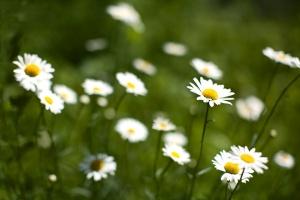 daisies-10331