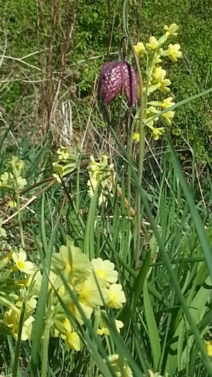 A rare treat. Cowslip and snake's head fritillary. Cowslip is now quite uncommon in the wild, so only use cultivated cowslips for medicine. Makes a lovely sleep inducing tea.