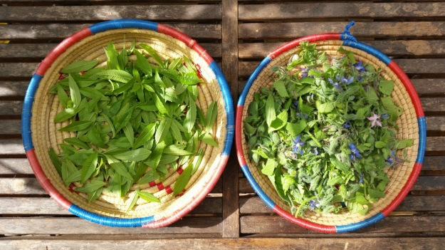 drying borage and lemon verbena